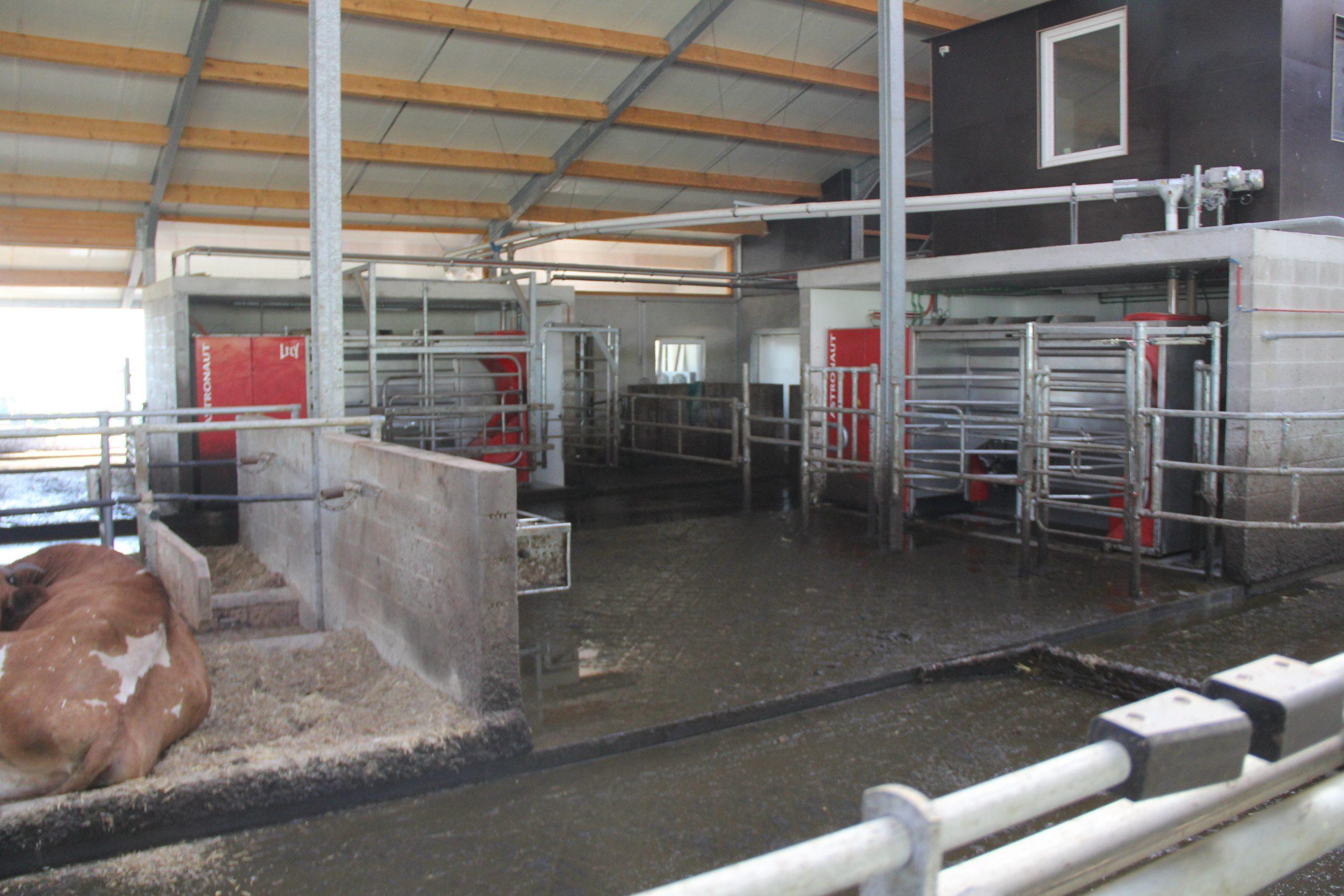 Met de Lely-robot worden de koeien 2,7 keer per dag gemolken.
